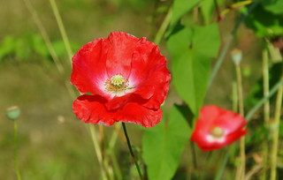 Red poppy | by ngawangchodron