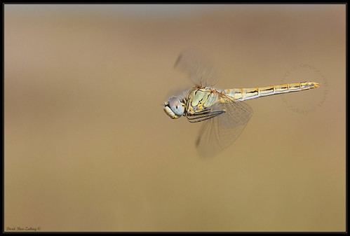 Red-veined Darter (Sympetrum fonscolombii) | by doritbz