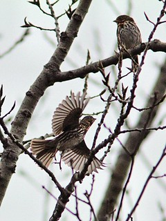 Fox Sparrows 20121103 | by Kenneth Cole Schneider