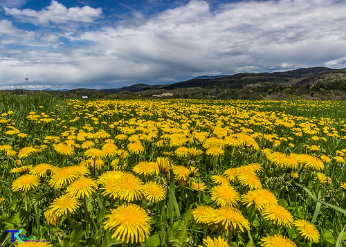 Dandelion Fields | by Tim_NEK