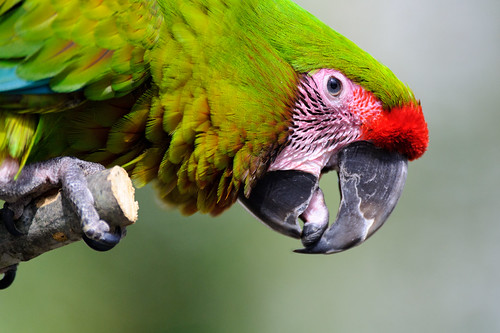 Green Macaw Profile | by Eric Kilby