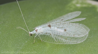 White lacewing Ankylopteryx sp.  IMG_8054 copy | by Kurt (OrionHerpAdventure.com)