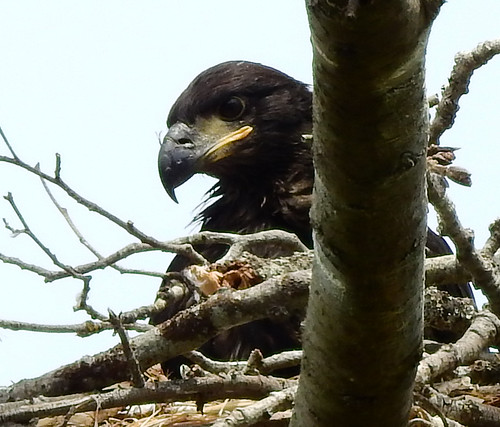 june 16 2016 15:12 - Dunlop Eaglet | by boonibarb
