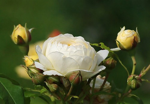White rose | by mamietherese1
