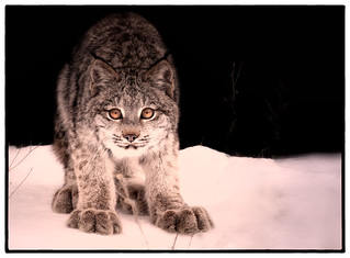 Young Canada Lynx | by josefontheroad