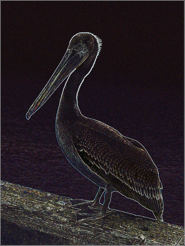 Pelican at Midnight | by Feist, Michael - FunnyFence - catchthefuture
