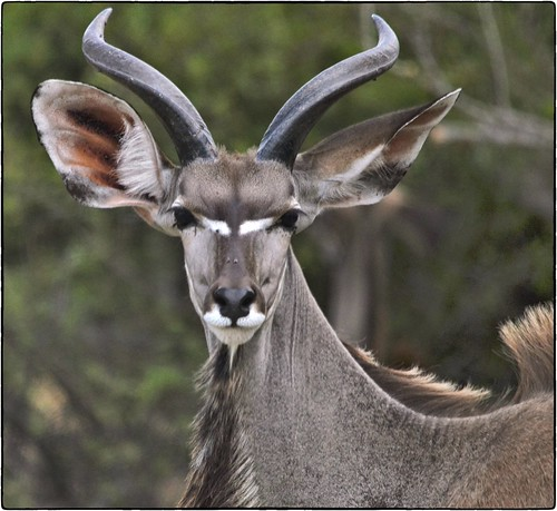 Young Kudu | by gvst*