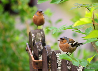 Chaffinches (Looking for scones) explored . | by eric robb niven