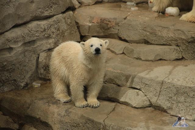 Eisbär Lili im Zoo am Meer 15.05.2016  193