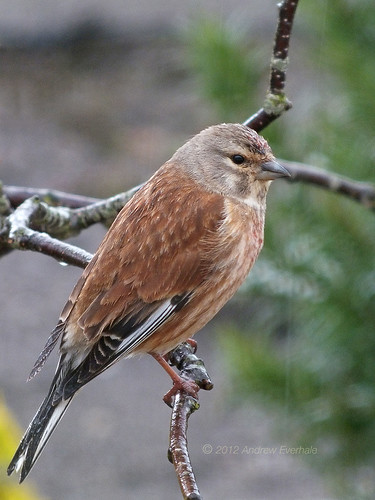 Linnet male in rain F4180933 | by thewildside1