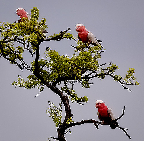 galahs in a gidyea tree (Explored) | by Fat Burns ☮ (on/off)