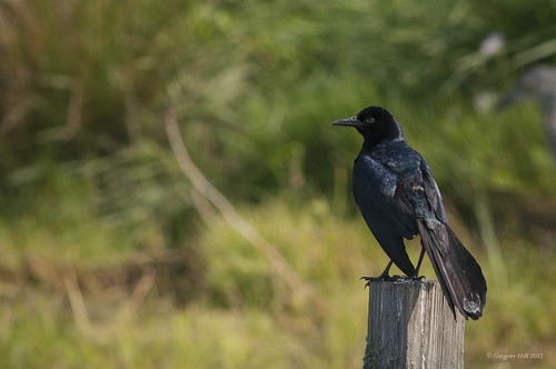 Boat-tailed Grackle | by greg194799