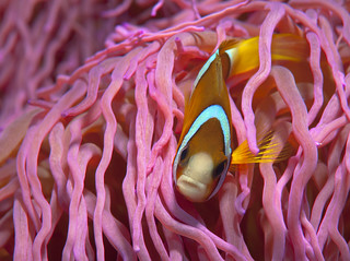 Anemone fish ( Amphiprion clarkii  ) with an attitude | by Okinawa Nature Photography
