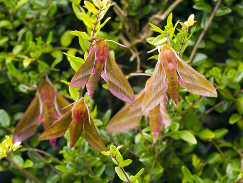 Elephant Hawk-moth.(Deilephila elpenor) | by fionbharra