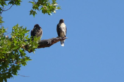 1red-tailed hawks jennifer dayrell livermore | by Contra Costa Times