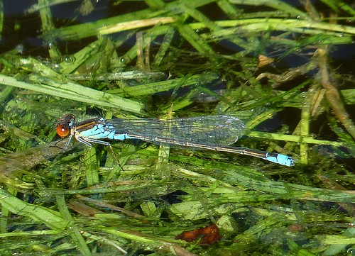 Small red-eyed Damselfly | by BITH*