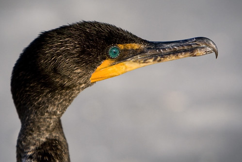 Double-crested Cormorant | by Dan Demczuk