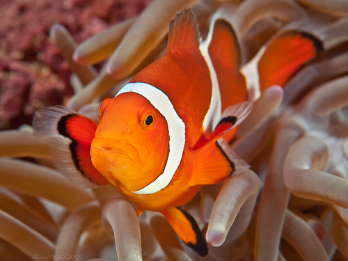 Amphiprion ocellaris fish - dynamic lighting | by Okinawa Nature Photography
