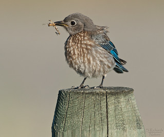Western bluebird, juvenile | by Through The Big Lens