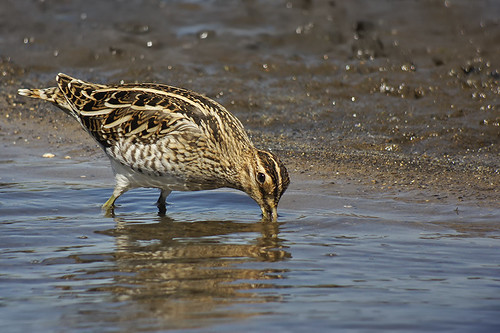 Snipe 16 | by 5Bellies Digiscoping