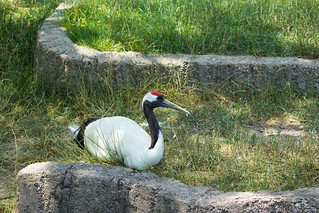 Red Crowned Crane | by mypixelizedview