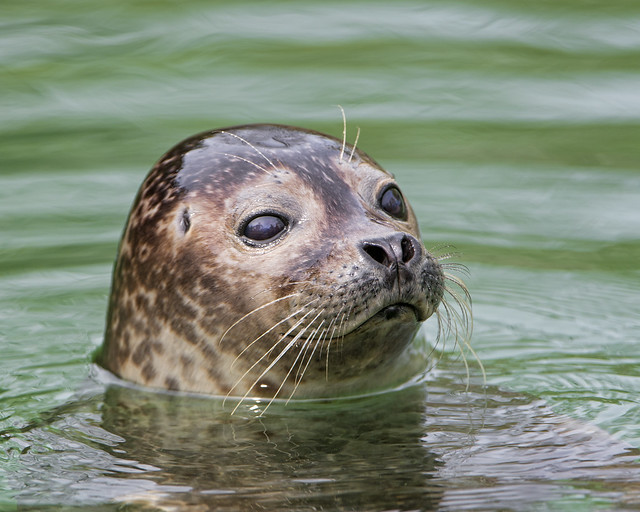 Seal looking out of the water