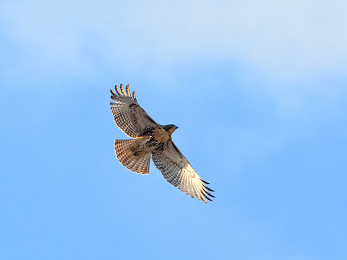 Fledge in Flight - 0297