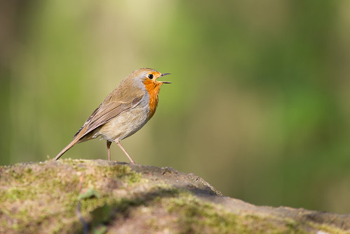 Rouge-gorge, Robin | by Zed The Dragon