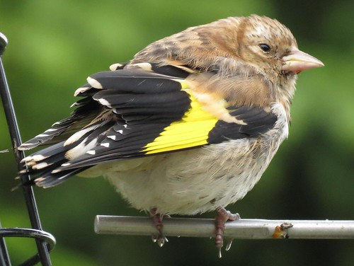 Baby Goldfinch | This beautiful bird allowed me to get ...