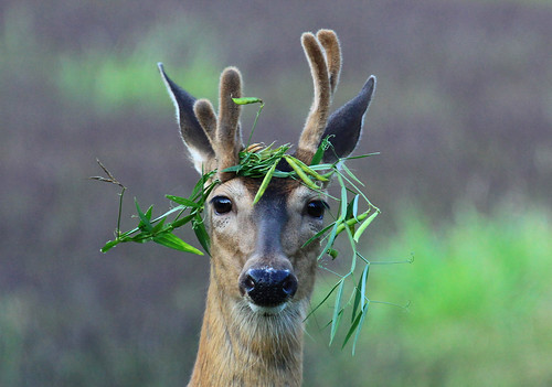 A Real Party Animal - Whitetail Buck | by Lifeinthenorthwoods.com