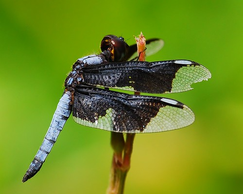 Widow dragonfly - male | by anacm.silva