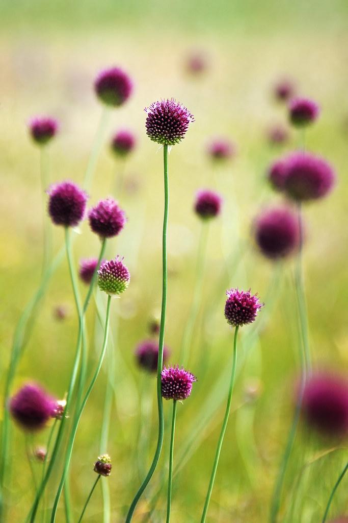 Fleur D Ail Magicshoot Flickr