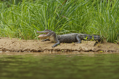 Gator-Full-Body_edited-1 | by Doylene Brazeale