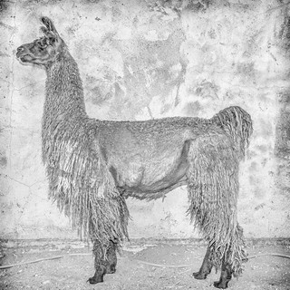Online Llama Dating | by TC Morgan