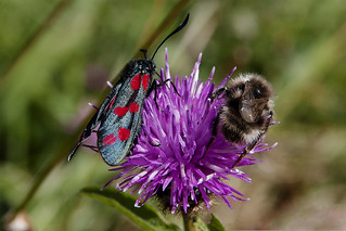 Six-Spot Burnet and Fork-Tailed Flower Bee on Common Knapweed Flower | by Mike G Photos