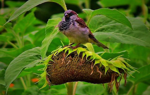 GERMANY, Stuttgart- Höhenpark Killesberg, sparrow on sunflower, 75109/6776