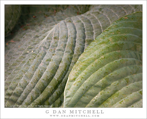 Hostas Leaves #2 | by G Dan Mitchell