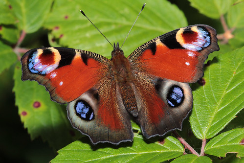 Peacock Butterfly - Inachis io | by Jonathan J Wright