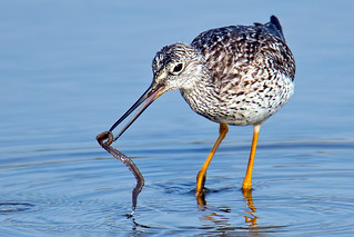 Greater Yellowlegs wth Worm | by Brian E Kushner