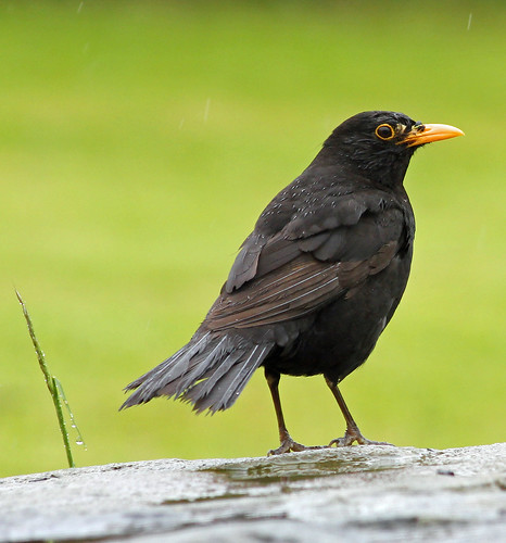 Blackbird in the rain | by suziehuzie