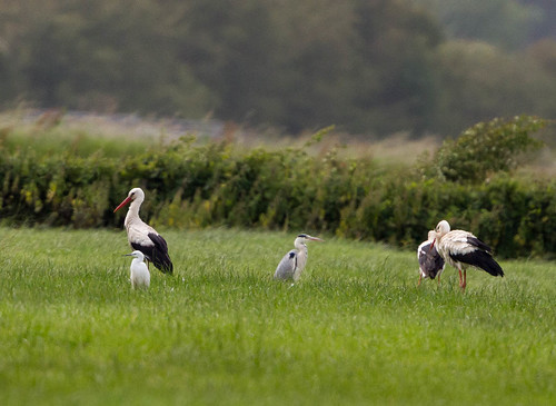 White Stork | by billnbrooks