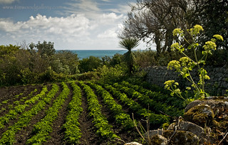 POTATOES....ST.AGNES, THE SCILLY ISLES........EXPLORE | by IMAGES OF WALES.... (TIMWOOD)