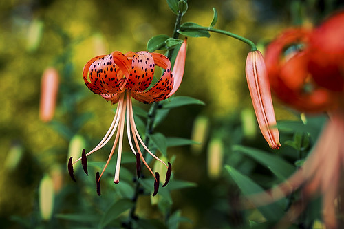 Tiger Lilies via Exposure 4 | by Music Man5