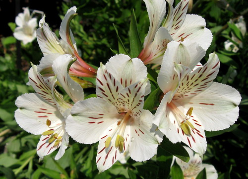 Peruvian-lily Alstroemeria 'Casablanca' (Shot by My Lovely Wife) Explore #28, July 11, 2012 | by Puzzler4879