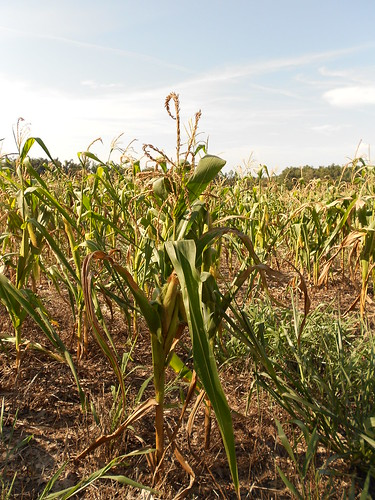 Drought Stressed Corn 008 | by CraneStation
