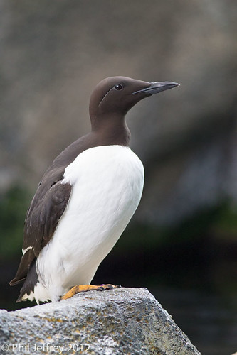 Common Murre (captive) | by phil.jeffrey