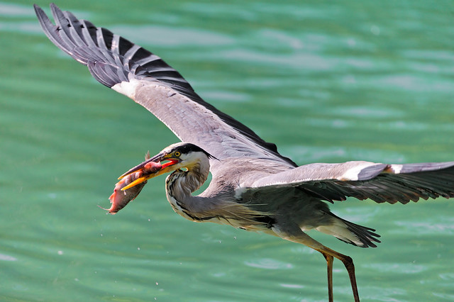 Heron flying with fish in the beak