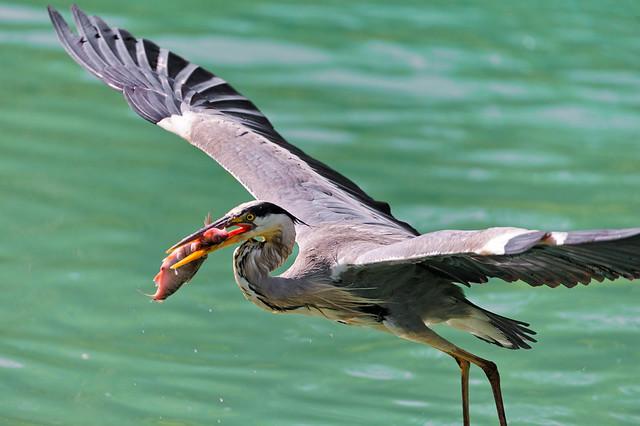 Heron flying with fish in the beak