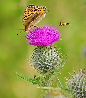 Scottish Thistles.(explored) | by eric robb niven