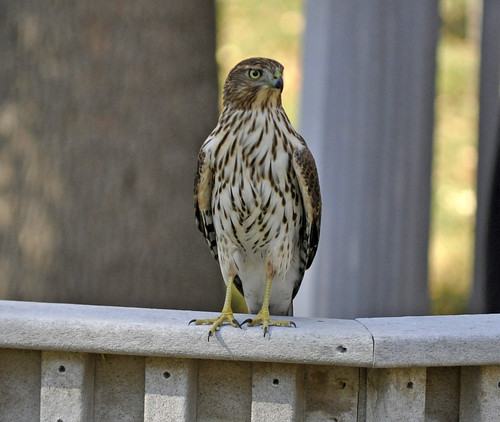 Juvenile Cooper's Hawk (Accipiter cooperii) | by warriorwoman531